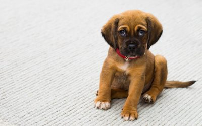 How Soon Should You Start Training Your New Puppy?